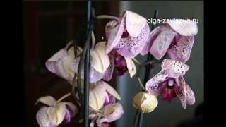 видео Цветущая орхидея опустила листья, потеряла тургор