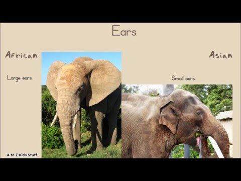 The Difference Between African Elephants And Asian Elephants Youtube