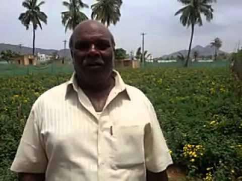 SEVANTHI FLOWERS GROWN ORGANICALLY WITH RECORD YIELD IN OPEN FIELD
