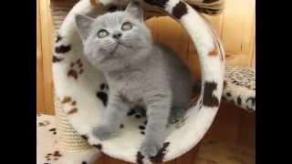 Британский голубой котенок Benjamin Wool Spirit