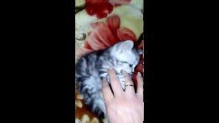 Кошка смешное видио!!! Игривый котенок. Видео про кошек. Британская кошка!