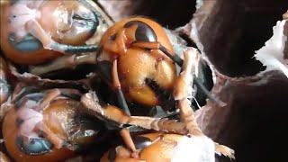 10月末の巣にいたオオスズメバチをまとめて観察してみた。 thumbnail