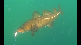UNDERWATER VIDEO: Jig Fishing for Cod in Shallow Water