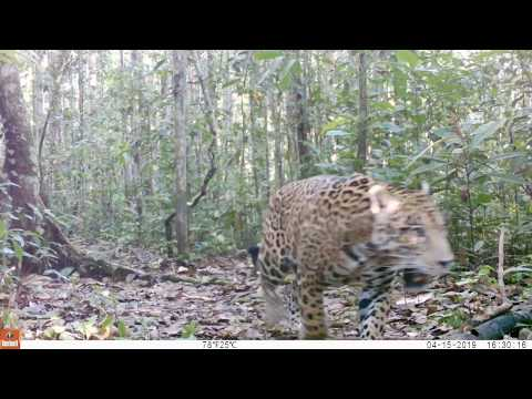 Video of wildlife recorded in Colombia's Chiribiquete National Park| Amazon Conservation Team