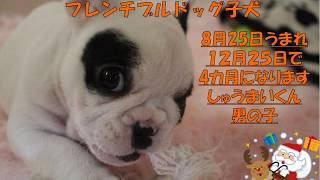 福岡県北九州市小倉北区片野に フレンチブルドッグの 赤ちゃん6匹がう...