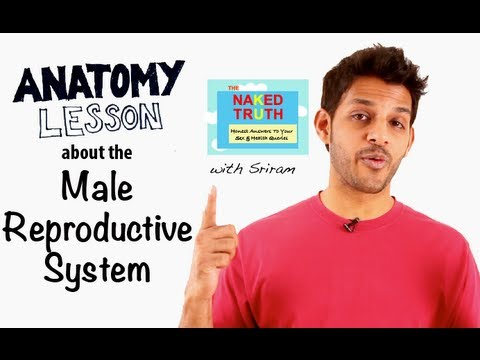 Anatomy of the Male Reproductive System - Episode 17