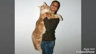 Топ-10 самых больших  и толстые кошки (домашние)