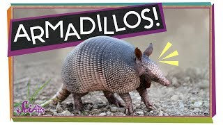 Armadillos: Animals with Armor!