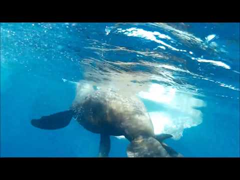 Sea Lion Kills And Eats A Mola From The Inside! GRAPHIC