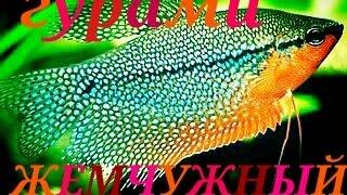 Аквариумные рыбки. Гурами Жемчужный.(Жемчужный гурами очень красивые рыбки. Но особенно красивы самцы во время нереста, в этот пириод цвета стан..., 2016-05-17T09:51:03.000Z)