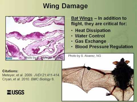 Bat White-nose Syndrome: There is a New Fungus Among Us By Dr. David Blehert