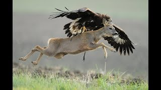 Eagle vs Deer real Fight To Death - Wild Animals Attack