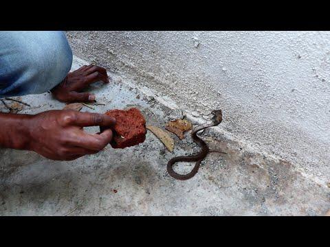 नाग का बच्चा, वीडियो पूरा देखिये.. Rescue Baby cobra snake from Ahmednagar, maharashtra
