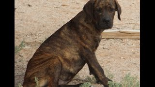 Rott/corso (rottweiler X Cane Corso Mastiff) Puppies For Sale