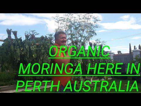 organic-moringa-(malungay)-here-in-australia.