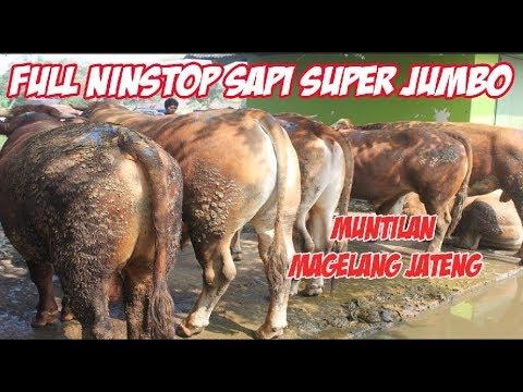 Full Nonstop 1 Jam Sapi Super Besar Dan Jumbo - Pasar Hewan Muntilan Jateng