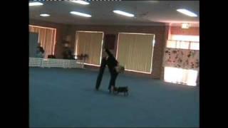 "Dancing Min Pin ""alfa"" In Heelwork To Music, Sydney Australia Feb-10"
