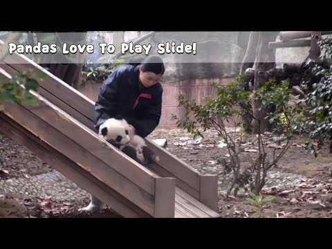 Pandas Love To Play Slide! | iPanda