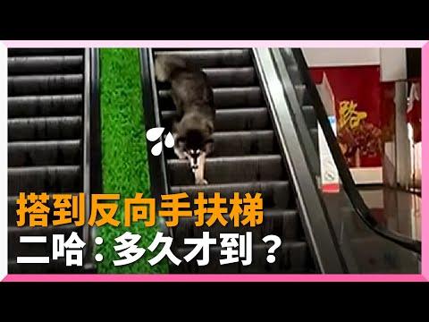 呆萌哈士奇搭到逆向手扶梯!狂往下走仍回到原點 寵物動物 中國大陸 二哈 月月