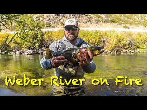 BIG Fish On The Weber River In The Fall!