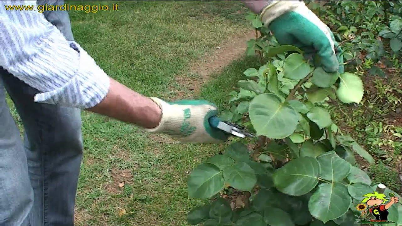 Potare le rose sfiorite in estate youtube for Potare le rose
