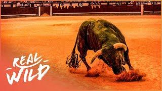 Spain's Most Legendary Fighting Bull | The Spirit Of The Bull | Real Wild