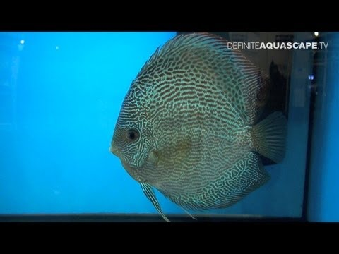 Discus Fish Classification: Fine Patterned Discus (group I), Aquatics Live 2012 Pt.16