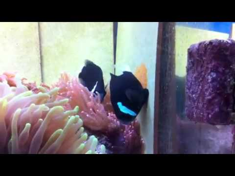 Juicy captive bred Amphiprion Mccullochi clownfish showed ... |Mccullochi Clownfish