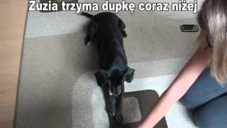 """Jak Nauczyć Psa """"czołgaj Się""""? / How To Teach Your Dog To Crawl?"""