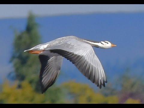 Bar-headed Geese, Kinnordy