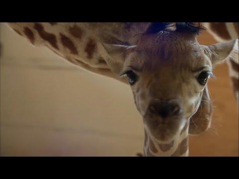 'GMA' Hot List: Jordan Patch shares the latest news on April the giraffe's calf