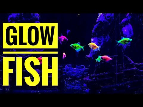 Know Something About Glofish In தமிழ் | Info On Glo Fish