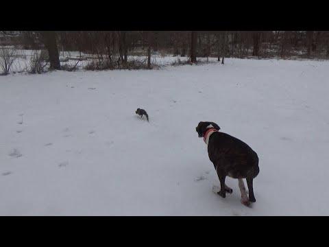 Mountain Cur Squirrel Dog Training Running Squirrel
