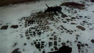 Englisch Cocker Spaniel - Welpen / Puppies  9 Wochen