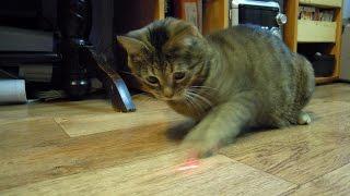 Глупая кошка и лазерный зайчик