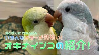 【えとぴりかOSAKA】第二弾!ニューメンバー!オキナインコの紹介!【オキナインコ・Monk parrot】
