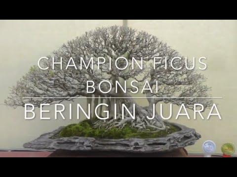 Detail Bentuk Beringin Juara Champion Ficus Bonsai On Detail