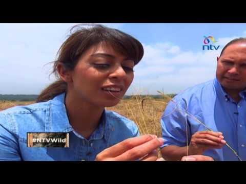 NTV Wild Talk S3 E12: All flesh is grass