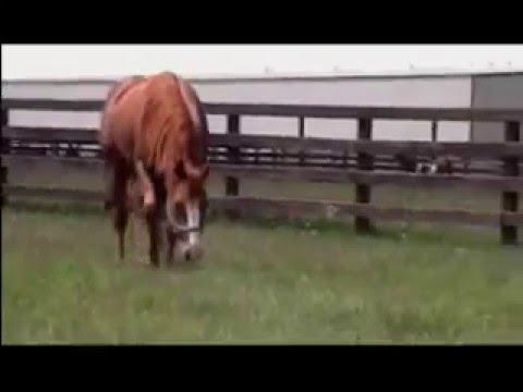 AlittleSmoke - 2007 Sorrel Quarter Horse Stallion
