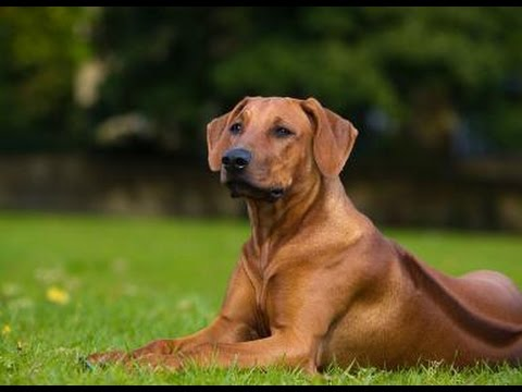 Rhodesian Ridgeback - Dog Breed