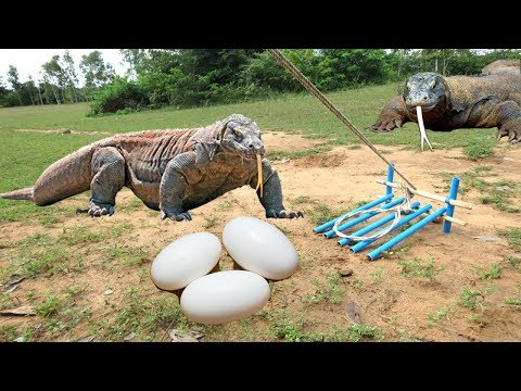 Amazing! Smart Man Show How To Make Komodo Dragon Trap - How To Catch Komodo Dragon In Cambodia