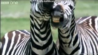animal voice overs