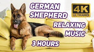 Лучшая Собака - Немецкая Овчарка. 3 Часа расслабляющей музыки и Видео в 4К   German Shepherd Dog 4K