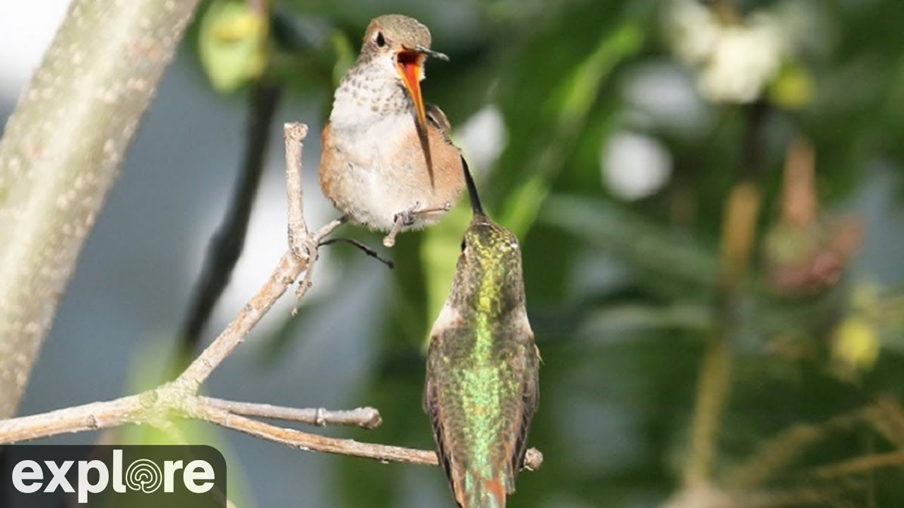 The Hummingbird Trees Live Hummingbird Nest Cam Exploreorg