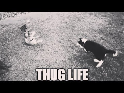 Thug life dog (cute puppy is a savage boxer!)