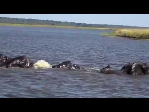 Elephants Swimming (crossing) Zambezi river