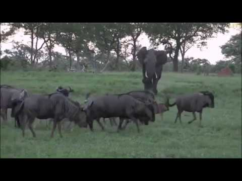 Safari Live : Tayla and the angry Elephant on drive this afternoon Jan 10, 2017