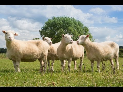 Nottingham Dollies prove cloned sheep can live long and healthy lives