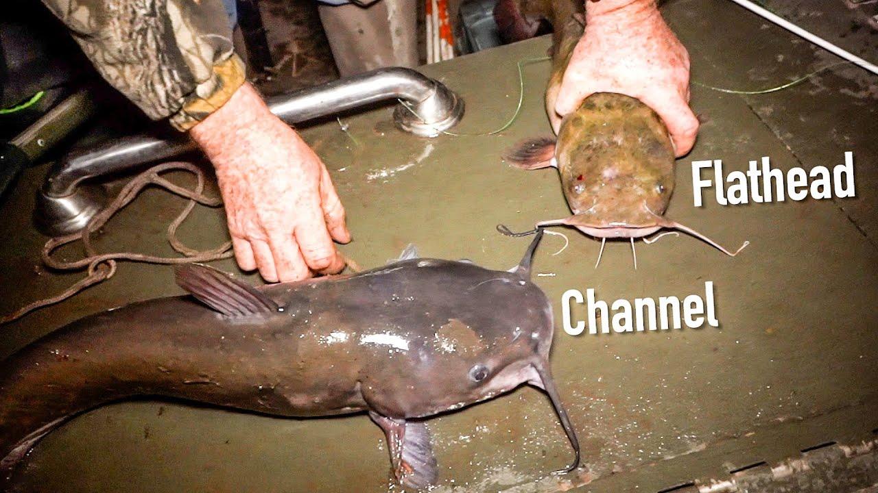 FLATHEAD vs CHANNEL CATFISH!!! - Rod & Reel Fishing!