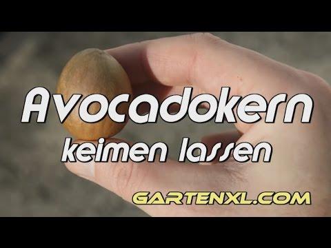avocadokern keimen lassen avocado ziehen avocado z chten avocado anzuchtanleitung youtube
